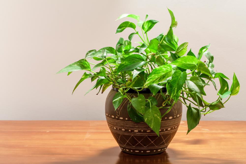 Planta epipremnum