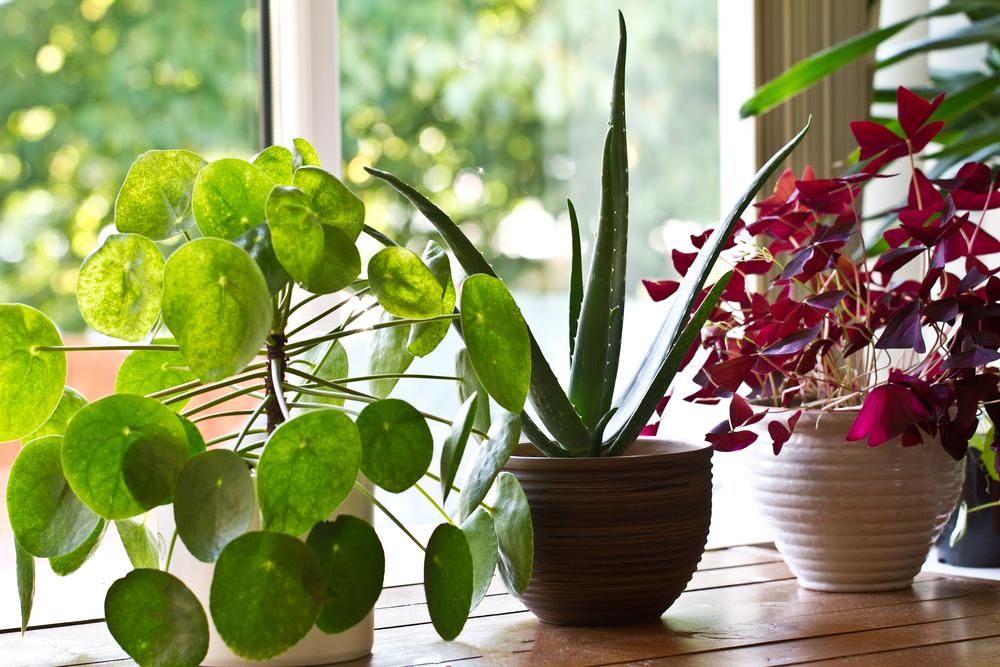 Intretinerea plantelor de apartament
