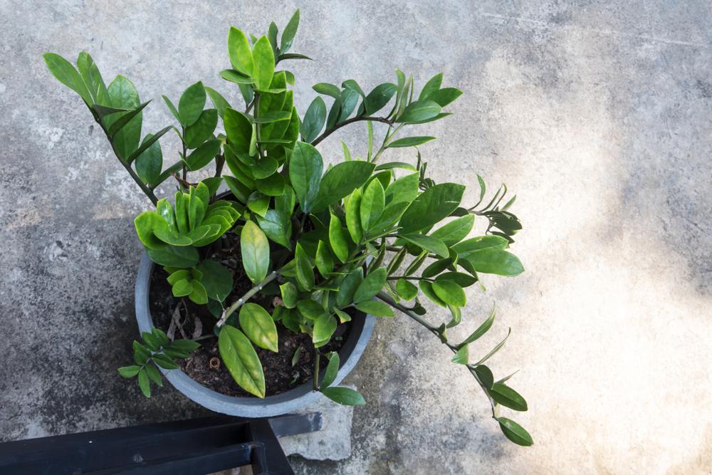 Plante rezistente de apartament