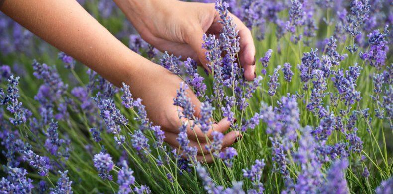 Lavandă la ghiveci sau în grădină – sfaturi utile ca să o plantezi și să o îngrijești corect