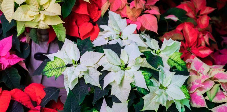 Crăciunița – sfaturi utile ca să o cultivi, să o înmulțești și să o îngrijești corect