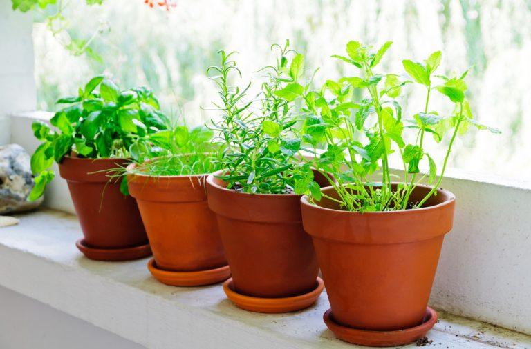 ce plante aromatice poti cultiva in ghiveci