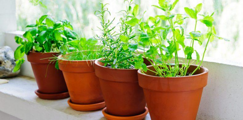 Plante aromatice de ghiveci – sfaturi utile despre cum le cultivi și le îngrijești corect