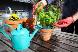 cum ingrijesti plantele aromatice la ghiveci