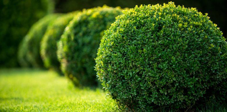 Tot ce trebuie să știi despre gardul viu – tipuri de arbuști ornamentali, plantare, îngrijire
