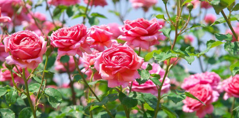 Totul despre trandafiri